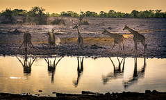 a good time to have a drink (Steven-ch) Tags: oshanaregion eos5dmarkiv zebra safari sunset travel namibia reflection splash goldenhour okaukuejo canon africa giraffe okaukuejowaterhole na national geographic wildlife