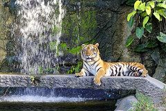 TIGER (I Prahin | www.southeastasia-images.com) Tags: tiger asian asiantiger thailand khaokheowopenzoo endangered cat beautiful stripes animal wild