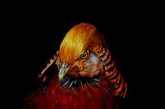 240 Golden Pheasant (tsuping.liu) Tags: outdoor organicpatttern abigfave animal blackbackground bright birds nature natureselegantshots naturesfinest ecology photoborder perspective photographt