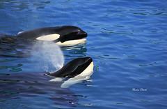 Both ♥ (ddmaevaoceane) Tags: orque marineland animal animaux animals aquatique marine marin dauphin mammifère cétacé orca killerwhale seaworld france antibes valentin freya