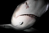 Close encounter with a Lemon Shark (lucien_photography) Tags: rouge tigerbeach bahamas lemon lemonshark shark jaws closeup nightdive scubadiving diving scuba underwater canon g7x black shadow negaprionbrevirostris carcharhinidae
