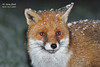 Red Fox (Vulpes vulpes) Staffordshire (wildlife_photo) Tags: wildlife flickr flash evening night 7dii canon eps photo wild smith garry staffordshire red fox vulpesvulpes