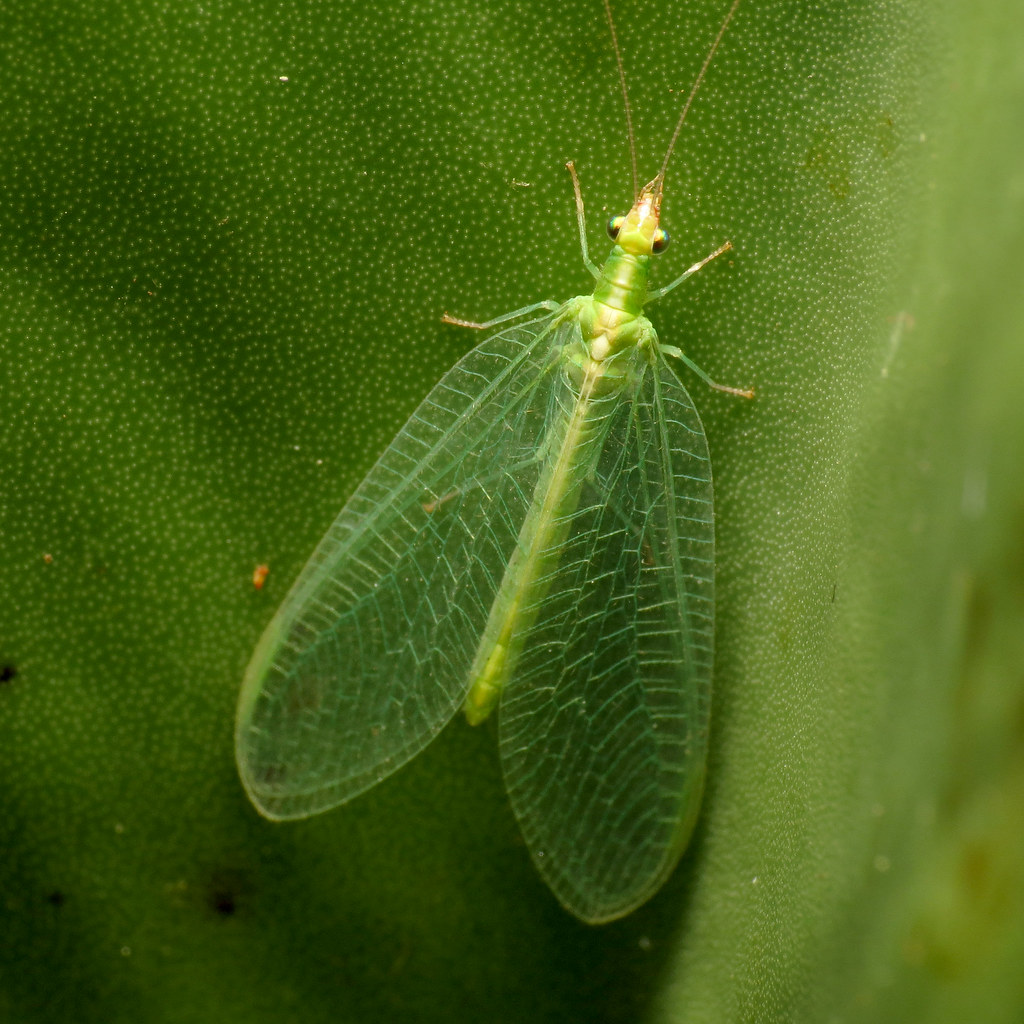 The World's Best Photos of nature and neuroptera - Flickr ...