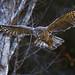 Great Gray Owl (E_Rick1502) Tags: