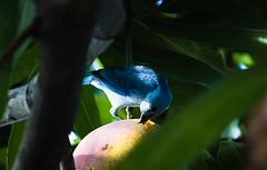 Disfrutando un poco de Mango. (lizaar Panizo) Tags: pajaro ave animal comiendo