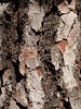 Borke der Kanarischen Kiefer (Pinus canariensis); La Orotava, Teneriffa (104) (Chironius) Tags: spanien teneriffa spain испания españa tenerife borke rinde ladrido écorce corteccia schors кора hout bois holz wood legno madera wald coniferales koniferen pinaceae kieferngewächse pinoideae kiefern pinus kiefer baum bäume tree trees arbre дерево árbol arbres деревья árboles albero árvore ağaç boom träd