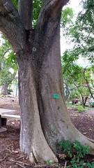 Aglaia-latifolia_FosterBG-Honolulu_Cutler_20170105_152354 (wlcutler) Tags: oahu hawaii honolulu fosterbotanicalgarden aglaia aglaialatifolia meliaceae