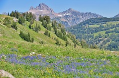 Teton Crest Trail, Grand Teton National Park (wldrns) Tags: grandtetonnationalpark jedediahsmithwilderness jedediahsmithwildernessarea wildflowers foxcreekpass deathcanyon tetoncresttrail wyoming deathcanyonshelf backpacking hiking