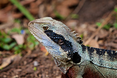 My best side (radio4) Tags: easternwaterdragon intellagamalesueurii lizard tarongazoo sydney nsw australia
