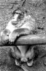 Singe-c (jeanraoulb) Tags: animaux kintzheim singe