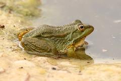 Sahara Frog - Pelophylax saharicus (Roger Wasley) Tags: sahara frog pelophylax saharicus boumalne dades morocco desert north africa frogs amphibian