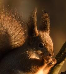 DSC_1734_01 (anla0070) Tags: squirrel elagin saint petersburg winter park snow