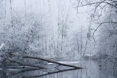 (martine_ferron) Tags: lernée rivière gel givre oiseaux arbres mayenne