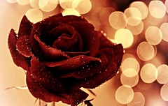 ** Love & Passion ** (Fulvia Afre) Tags: amor passion red rosa flores naturaleza rose