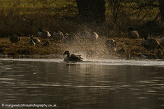 Canada Goose Bathing (margaretc1946) Tags: canadagoose wildbird ashleworthham gloucestershirewildlifetrust pentaxk3 sigma150500mmlens