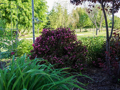 Weigela, June 2015 (F. D. Richards) Tags: mi spring michigan clinton 2015 washtenawcounty zone5 usamichigan 49236 bridgewatertownship