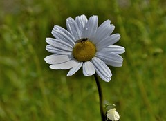 Fly on Daisy (james john murray) Tags: summer flower green nature scotland fly nikon daisy 18105mm