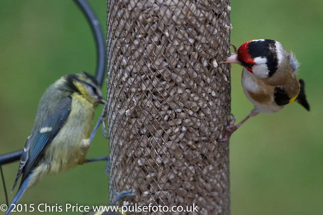 Goldfinch and Blue Tit