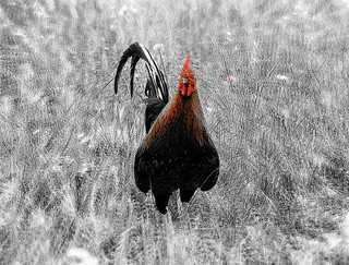 Cock - double exposure