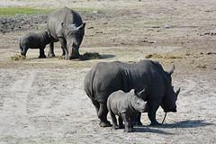 White Rhinoceros & Young (Truus & Zoo) Tags: netherlands animals zoo young nederland safaripark beeksebergen dierentuin whiterhinoceros hilvarenbeek ceratotheriumsimum nearthreatened squarelippedrhinoceros breedlipneushoorn witteneushoorn
