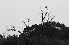 Bald Eagle (Trumpet Dan's Photos) Tags: bird nature wisconsin eagle bald