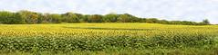 Sunflower Season (Kansas Poetry (Patrick)) Tags: panorama sunflowers kansas oilpaintfilter patrickemerson