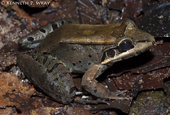 Leptodactylus guianensis (Guianan Thin-toed Frog) (Kenny Wray) Tags: nature wildlife amphibian guyana frog kenny herp herps wray anura amphibia fieldherping leptodactylidae guianensis herping guianan leptodactylus leptodactylusbolivianus kennywray kartabo thintoed leptodactylusguianensis guiananthintoedfrog