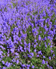 lavender (carol_malky) Tags: green purple small lavender lilac sunnyday nicesmell