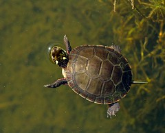Following a Star (Slow Turning) Tags: water swimming pond reptile marsh southernontario surfacing chrysemyspicta