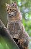 europese wilde kat Duisburg JN6A0350 (j.a.kok) Tags: wildcat duisburg wildekat felissilvestrissilvestris europesewildekat europeanwildcat