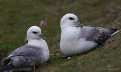 Fulmar / Noordse stormvogel (Kees Waterlander) Tags: scotland unitedkingdom gb fulmar shetland foula fulmarusglacialis noordsestormvogel