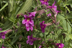 """Lewis Monkeyflower • <a style=""""font-size:0.8em;"""" href=""""http://www.flickr.com/photos/63501323@N07/19781325275/"""" target=""""_blank"""">View on Flickr</a>"""