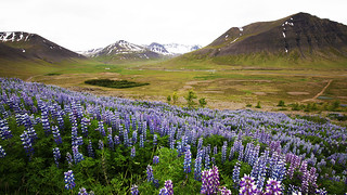 Lupins in the Western Fjords