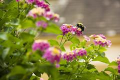 Buzz Buzz (William & Mary Photos) Tags: summer college campus virginia mary william va williamsburg williamandmary