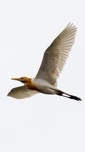 The Cattle Egret
