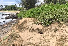 Breeding site for Wedge-tailed Shearwater IMG_0554 (grebberg) Tags: maui hawaii june 2015 wedgetailedshearwater puffinuspacificus puffinus shearwater hole breeding nestingsite kihei usa