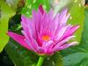 Purple Lotus Flower (hastuwi) Tags: trowulan jawatimur indonesia idn eastjava kraton