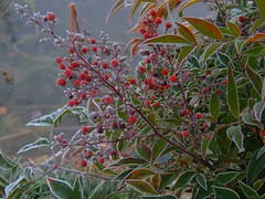 Früchte vom heiligen Bambus (Sophia-Fatima) Tags: mygarden meingarten naturgarten heiligenbambus