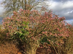 Spring In January? (Marc Sayce) Tags: tree spring blossom pink january winter 2017 lodge forest alice holt hampshire wrecclesham farnham surrey south downs national park