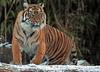 sumatran tiger Burgerszoo JN6A1124 (j.a.kok) Tags: tijger tiger sumatraansetijger sumatrantiger pantheratigrissumatrae cat kat predator sumatra asia azie mammal zoogdier