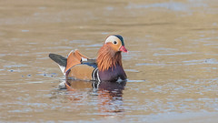 Mandarin Duck (Tris Enticknap) Tags: uk hampshire nikkor300mmf4epfedvrlens nikond750 freshwaterducks mandarinduck aixgalericulata newforest