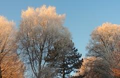 December trees (sabrina. G very busy!) Tags: frost sonne bäume blau licht himmel winter dezember