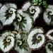 Begonia Escargot Spiral Leaves