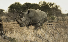 Playing Cat And Mouse (philnewton928) Tags: whiterhino rhino rhinoceros mammal animal animalplanet wild wildlife nature natural kruger krugernationalpark africa southafrica outdoor outdoors bushwalk safari endangeredspecies nikon nikond7200 d7200 ceratotheriumsimum