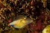 pufferNov24-16 (divindk) Tags: canthigasterrostrata caribbean diodonhystrix honduras roatan scientificname underwater caribbeansharpnosepufferfish diverdoug marine ocean porcupinefish pufferfish reef sea sharpnosepuffer spines tropical underwaterphotography
