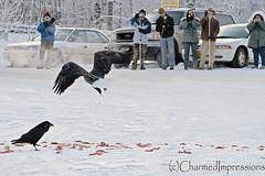 Media (livininfrostytown) Tags: eagles baldeagles dozens blackbird food feedingthebirds birds wildlife wild eagleriver alaska photographers 2008 charmedimpressions