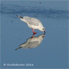 Black headed Gull (Huddsbirder) Tags: huddsbirder fz1000 panasonic old moor rspb black headed gull