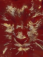 Golden Assam (sjrankin) Tags: 29january2017 edited processed filtered california northerncalifornia closeup animal cat assam