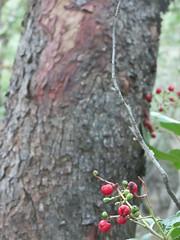 Heteromeles arbutifolia (AnkaKarewicz) Tags: toyon berry