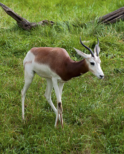 Indianapolis Zoo 08-08-2013 - Addra Gazelle 6